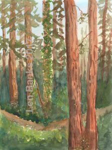 Redwood Morning